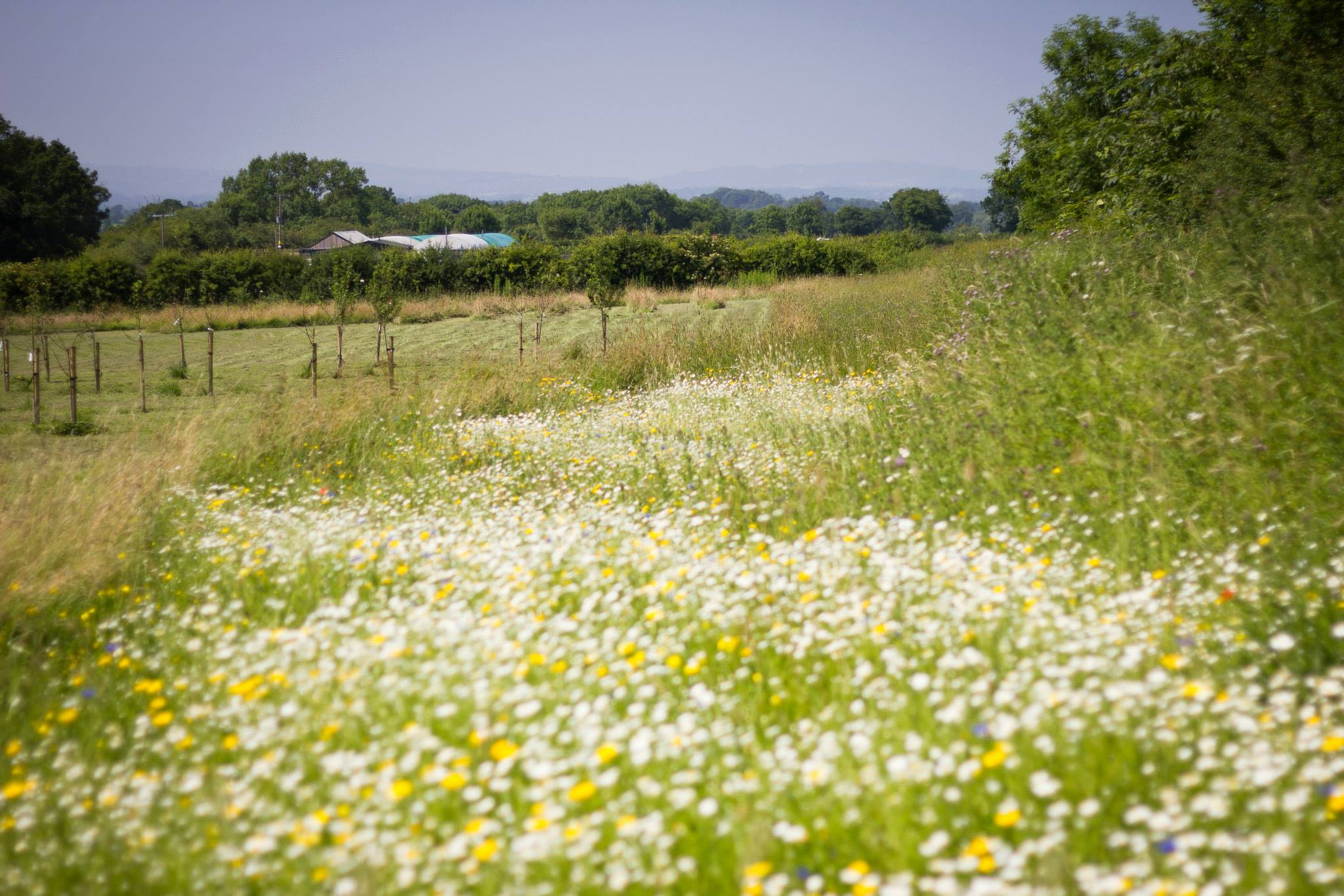 The beautiful wildflower patch with the Clwydian range visible in the background